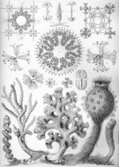 Haeckel_hexactinellae