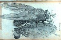 Hookebluefly