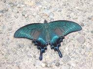 Papilio_maackii