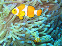 Common_clownfish