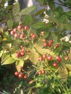 Autumnfruit_003
