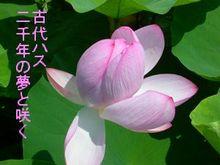 Kodaihasu_1