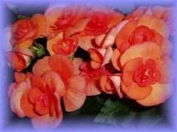 sion-begonia