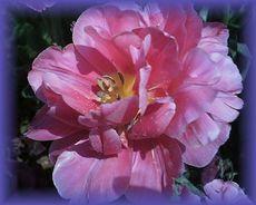 sion-rose-adamo